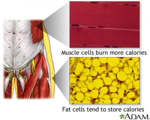 fat cells vs muscle cells